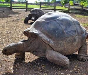 chamarel-giant-tortoise